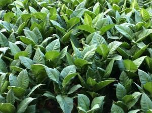 tobacco-1652069_640